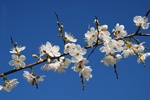 Cherry Plum (Prunus cerasifera)